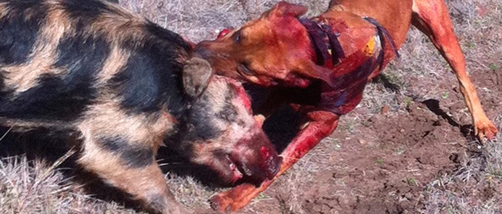Sugar's Hope Hog Dog Hunting Abuse